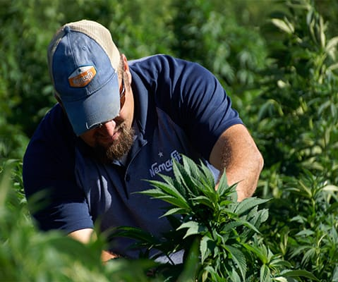 man getting hemp plant for processing
